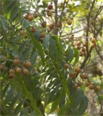 soapnuts_TREE